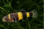 bumblebee cat fish